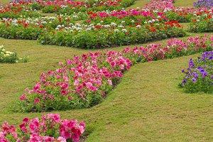 petunia flowers in garden.