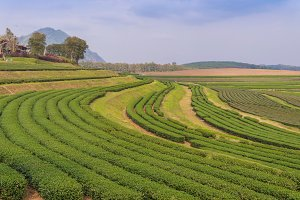 green tea farm on the hill