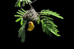 Southern masked weaver bulding nest