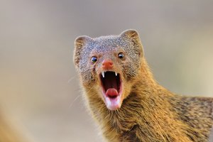 Mongoose - Teething Humor