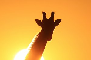 Giraffe sunset - Icon of Gold