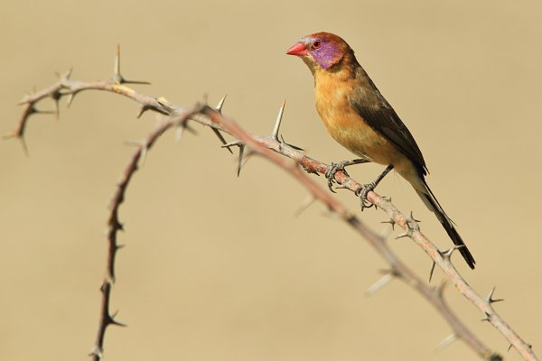 Violet-eared Wax-bill - Colorful