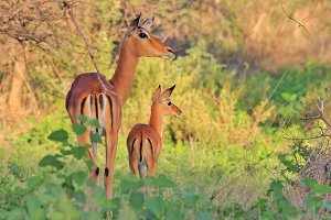 Impala - Baby Animals and Mom