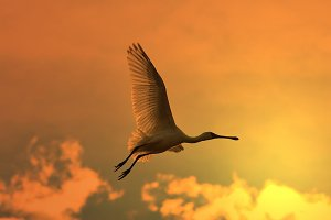 Spoonbill Stork - Golden Skies
