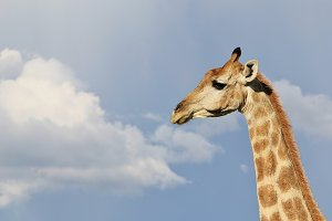 Giraffe Simplicity - Natural Wonders