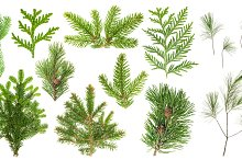 Set coniferous tree branches