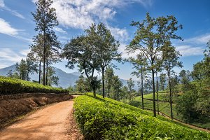 Tea plantation in Asia