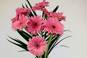 Bouquet of pink gerberas