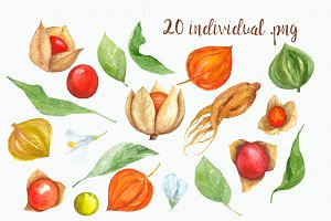Watercolor Physalis Clip Art