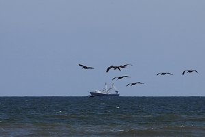 flying pelicans