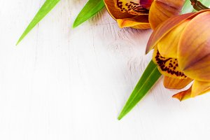 Brown Cymbidium flowers on a white background
