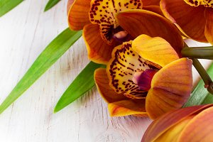Cymbidium Orchid with brown color on a white background
