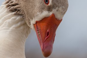 Profile of a goose