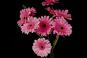 Bouquet of pink gerberas