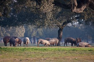 Iberian pigs eating in the field