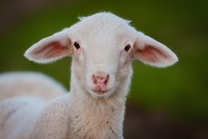 Small lamb looking at camera