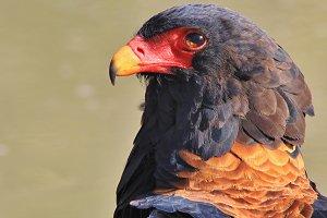 Bateleur Eagle - King of the Skies