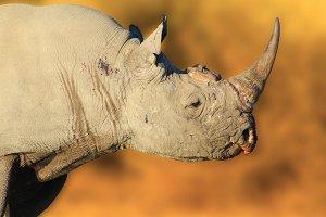Black Rhino Bull - Rare Power
