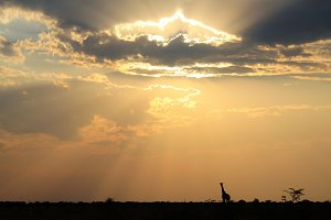 Giraffe Solitude - Beautiful Life