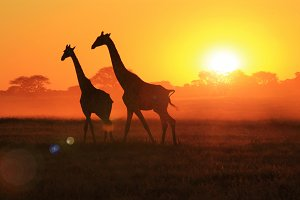Giraffe Sunset - Light and Wonder