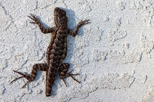 Incomplete Lizard