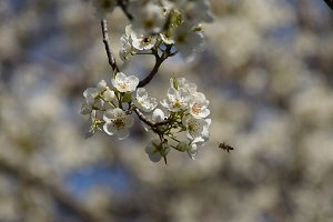 Pollination of flowers by bees pears
