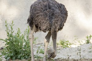 Image of an ostrich.