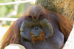 Image of a big male orangutan.