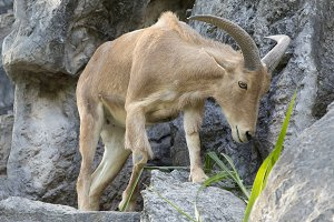 Image of a mountain goats.