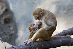 Mother monkey and baby monkey.