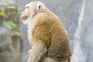 Image of a brown rhesus monkeys.