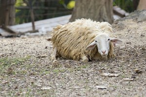 Image of a brown sheep relax.