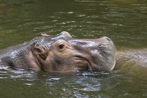 Image of a hippopotamus.