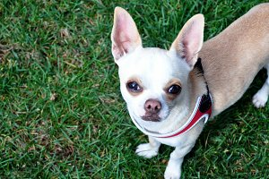 Chihuahua dog posing