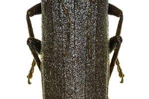 Dusky Longhorn Beetle
