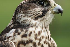 Saker Falcon (Falco cherrug)