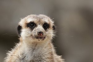 Meerkat (Suricatta suricatta)