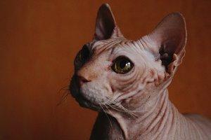 Nude sphinx cat portrait
