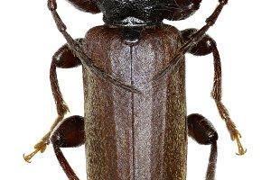 Black Spruce Longhorn Beetle