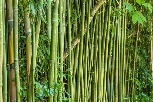 Green bamboo stems