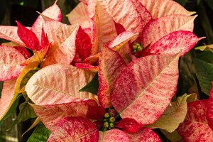 Variegated poinsettia flowers