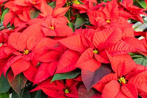 Red poinsettia plants in flower