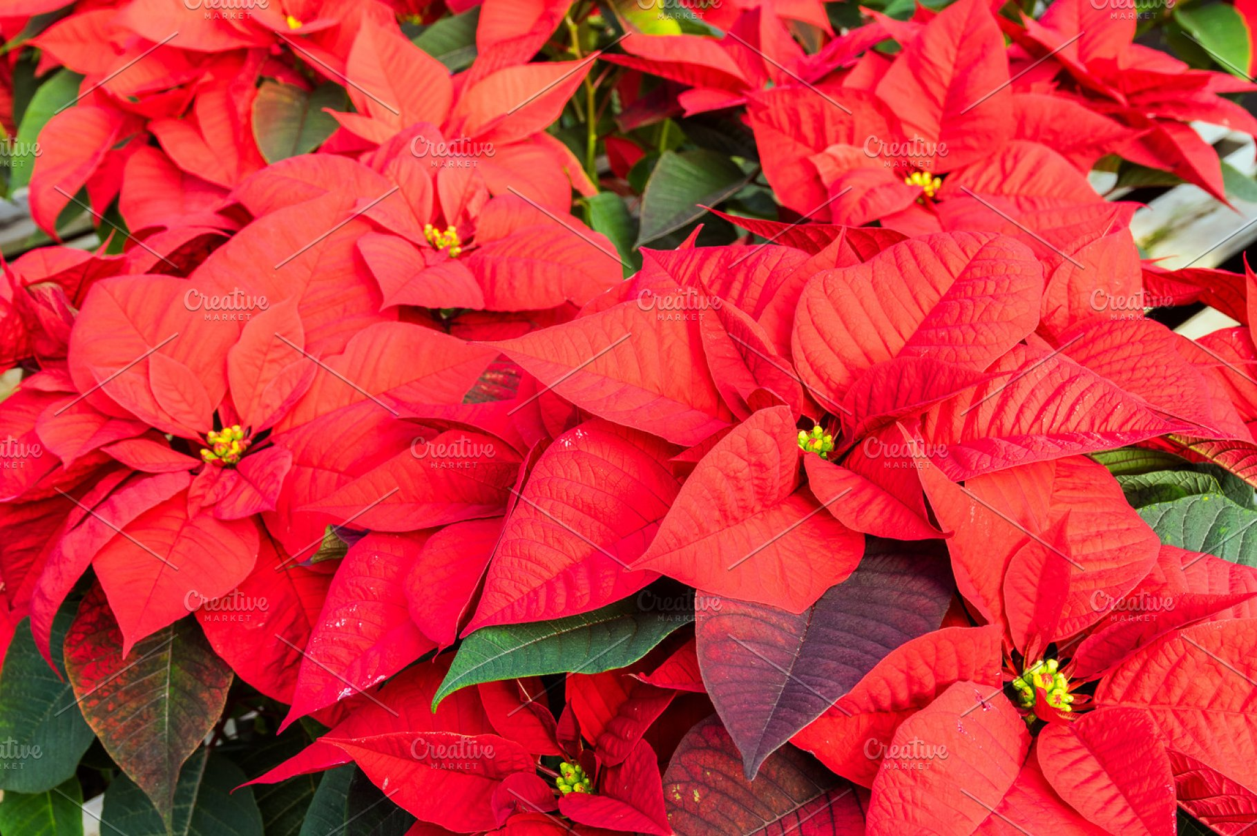 Red Poinsettia Plants In Flower High Quality Holiday Stock
