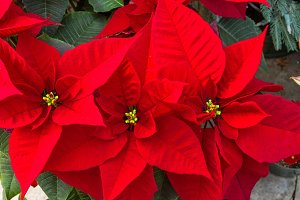 Red holiday poinsettias