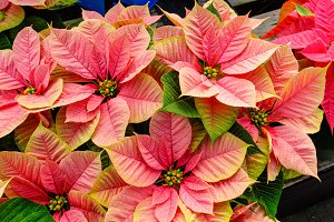 Pink poinsettia holiday flowers