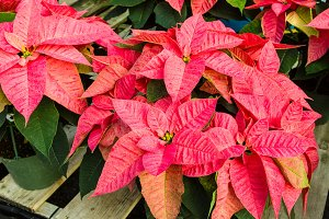 Pink Poinsettia flowers