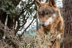 Iberian wolf portrait