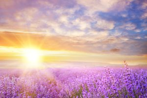 Sunset lavender field.
