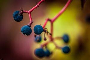 Wild fruits