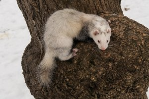 Ferret on a tree